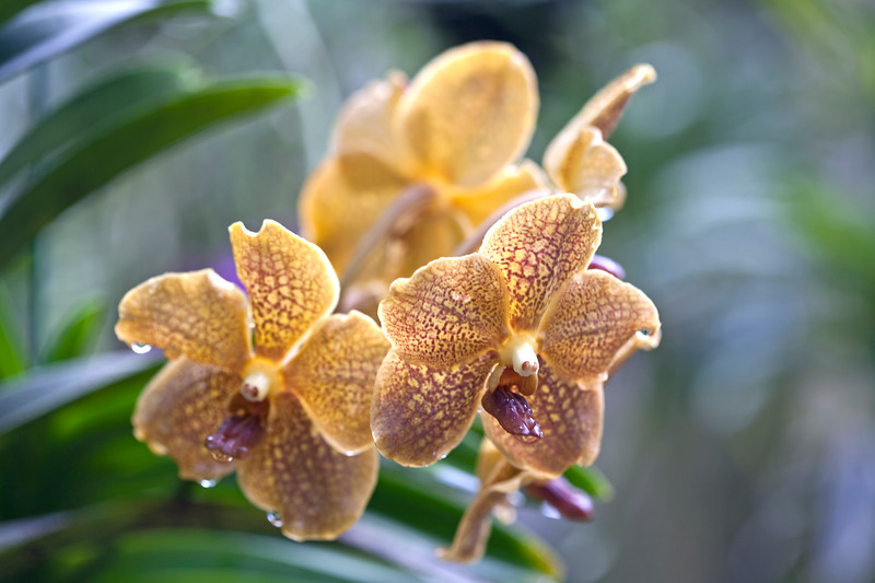 Vanda Kultana Fragrance and Vanda Tharadee