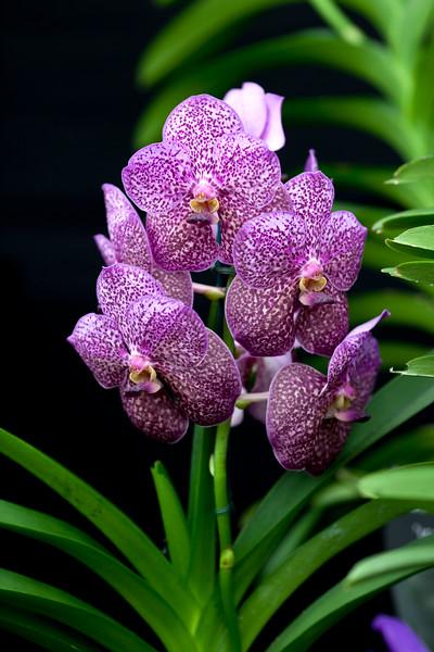 Vanda Purple Rain