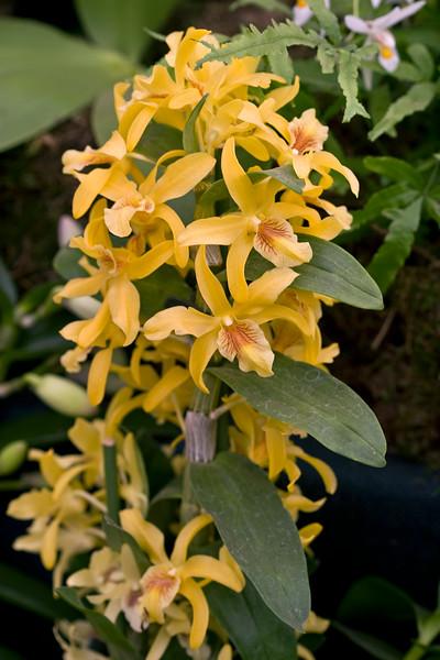 Dendrobium Nobile 'Stardust'