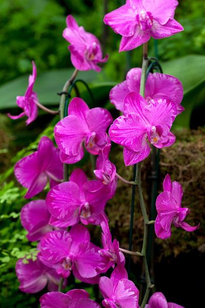 Phalaenopsis Red Cat