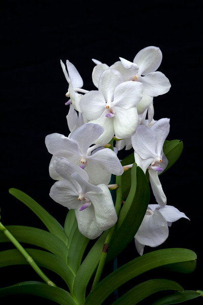Ascocenda Thai Pastel 'Ice White'