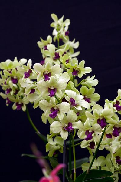 Dendrobium 'Anna Green'