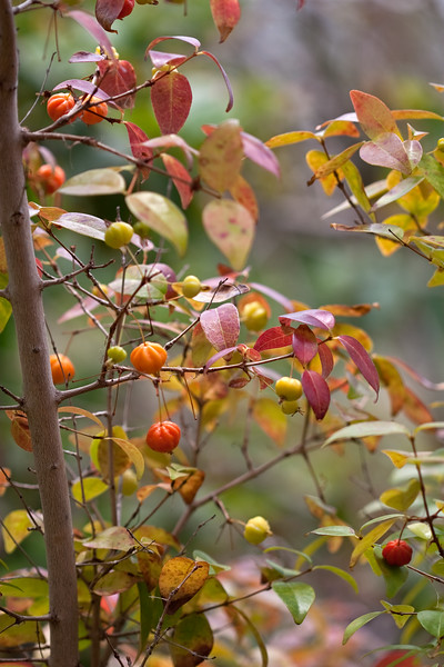 Solanum Aethiopicum