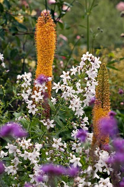 Campanula Lactiflora and Eremurus Stenophyllus