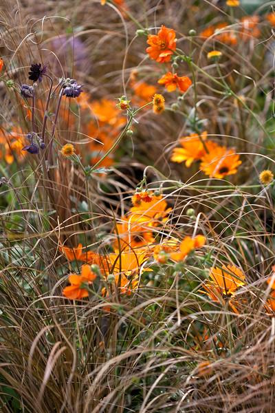 carex, marigolds, aquilegia