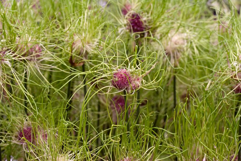 Allium 'Hair'