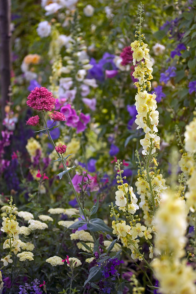Verbascum Jackie and Valerian in association