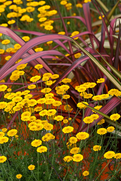 Phormium Tenax Dazzler and Anthemis