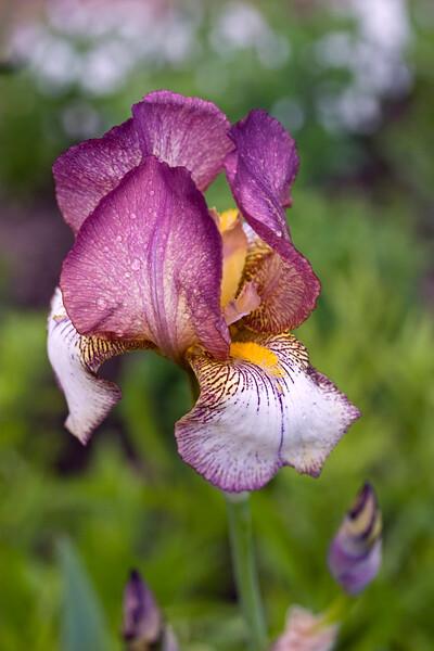 Bearded Iris 'Cedric Morris'