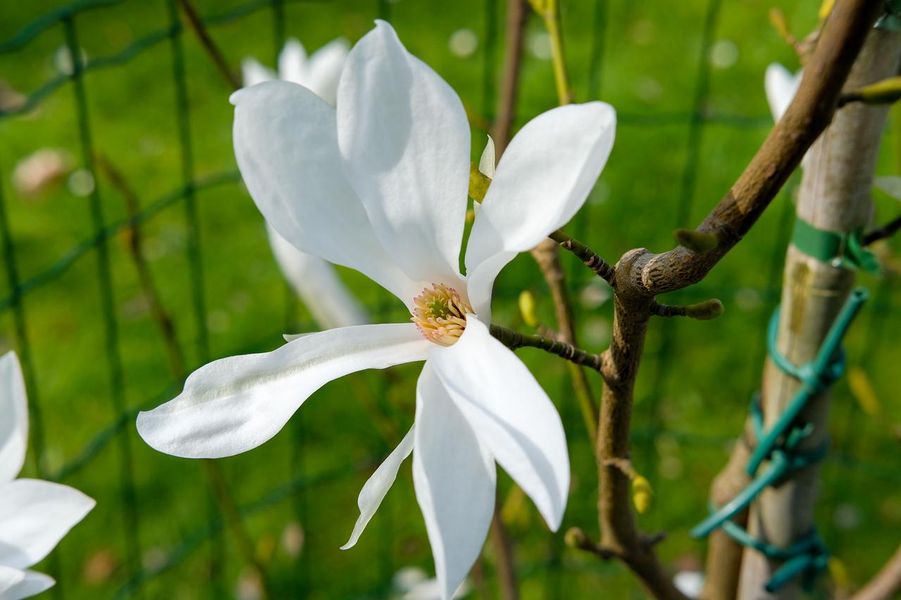 Magnolia salicifolia 'Jermyns'