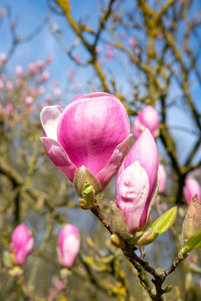 Magnolia soulangeana 'Verbanica'