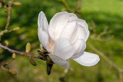 Magnolia loebneri 'Meril'