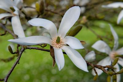Magnolia proctoriana
