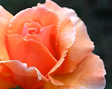 The roses are just starting to put on their show at the Portland Oregon International Test Rose Garden