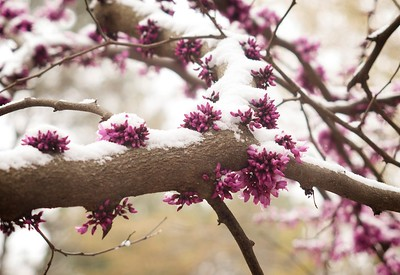 Redbud Early March 2017