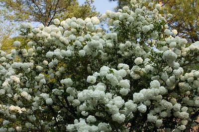 Reggi's Snowball Virburnum