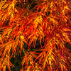 Maple, closely