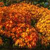 Maple in sun