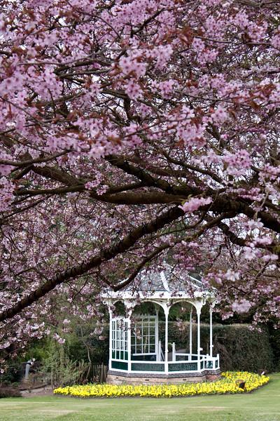 Prunus Hillieri Spire