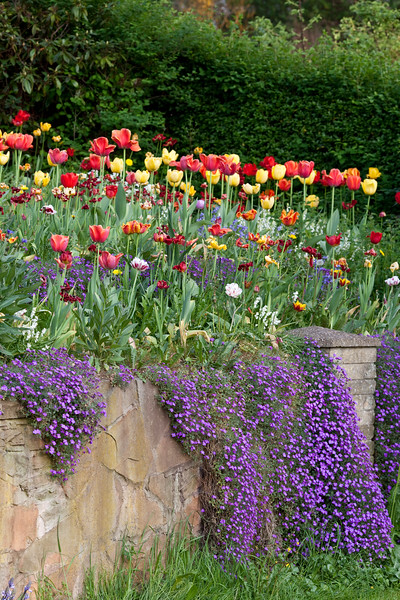 Spring front garden, with aubretia, tulips and wallflowers
