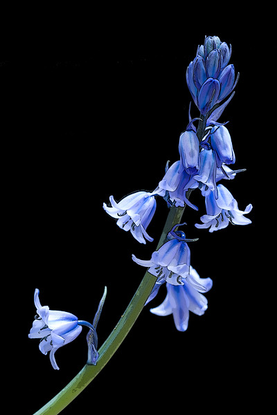 HYACINTHOIDES NON-SCRIPTA, ENGLISH BLUEBELLS, MANIPULATED