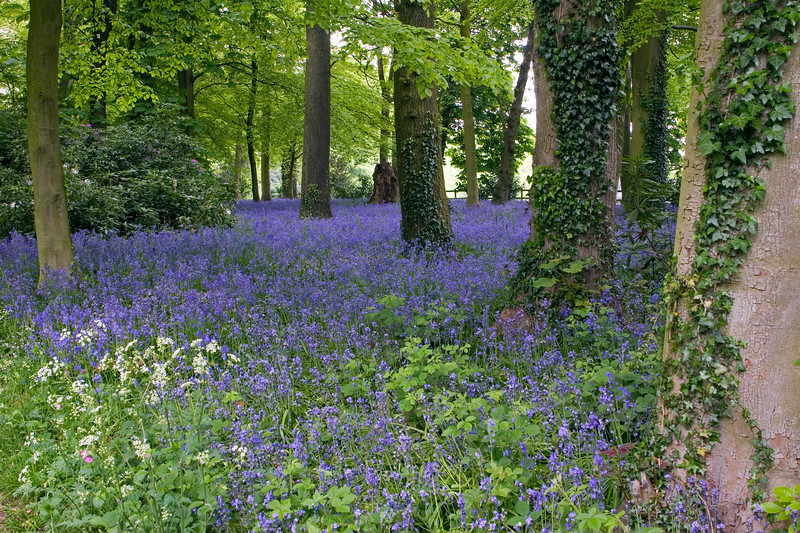 HYACINTHOIDES NON-SCRIPTA, ENGLISH BLUEBELL WOOD AT RENISHAW HALL GARDENS, DERBYSHIRE, MAY