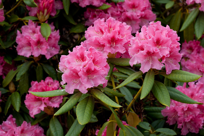 Rhododendron var. unknown