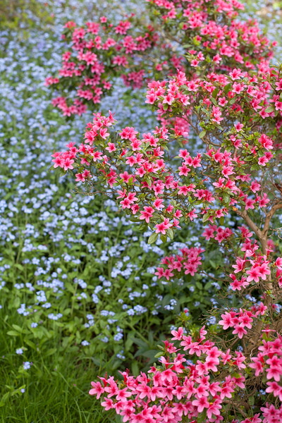 Azalea and myosotis