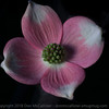 Dogwood blossom in pink