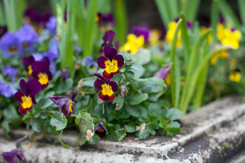 violas in stone urn,