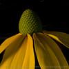 Herbstone rudbeckia, drama queen