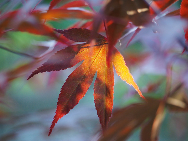 Late evening light behind the Japanese maple