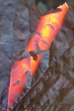 Back lighting through a leaf.