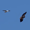 Great Black-backed Gull and Young Bald Eagle, Wave Hill