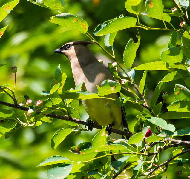 Cedar waxwing, Wave Hill