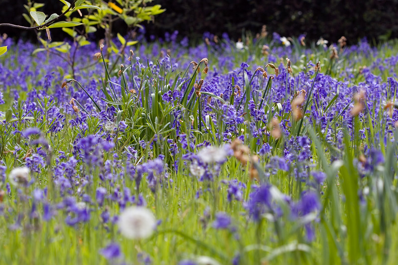HYACINTHOIDES NON-SCRIPTA, ENGLISH BLUEBELLS AND DANDELION CLOCKS