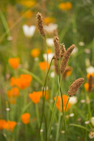 GRASS IN FIELD OF ESCSCHOLZIA CALIFORNICA, CALIFORNIAN POPPY