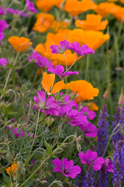 MIXED BORDER WITH ESCHSCHOLZIA CALIFORNICA AND GERANIUM
