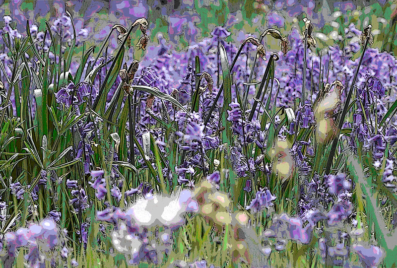 HYACINTHOIDES NON-SCRIPTA, ENGLISH BLUEBELLS AND DANDELION CLOCKS, MANIPULATED, PANORAMIC