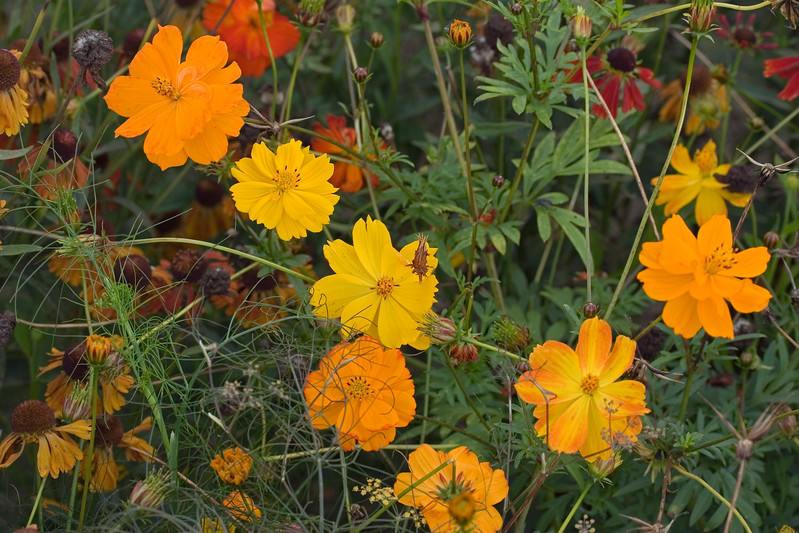 TAGETES AND RUDBECKIAS IN ASSOCIATION