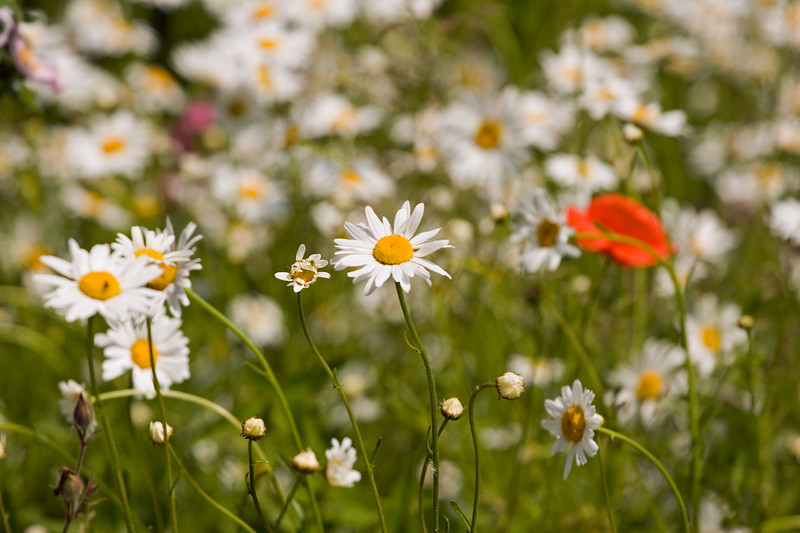 ANTHEMIS ARVENSIS, CORN CHAMOMILE WITH POPPY, JUNE