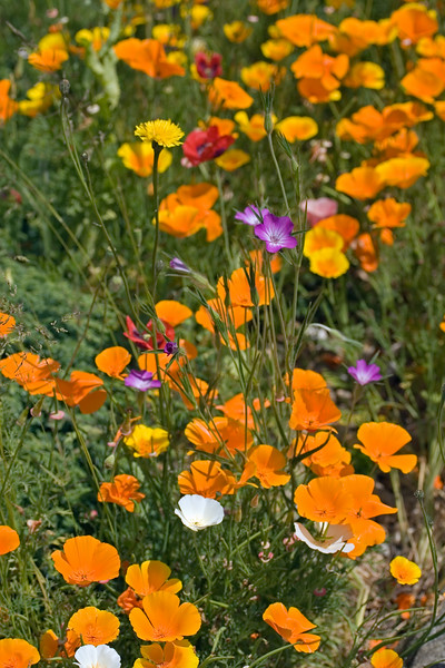 ESCHSCHOLZIA CALIFORNICA, CALIFORNIAN POPPY IN DRY GARDEN AT RHS HYDE HALL, JUNE