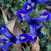 Hardy irises
