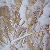 Winter grass and its burden of snow