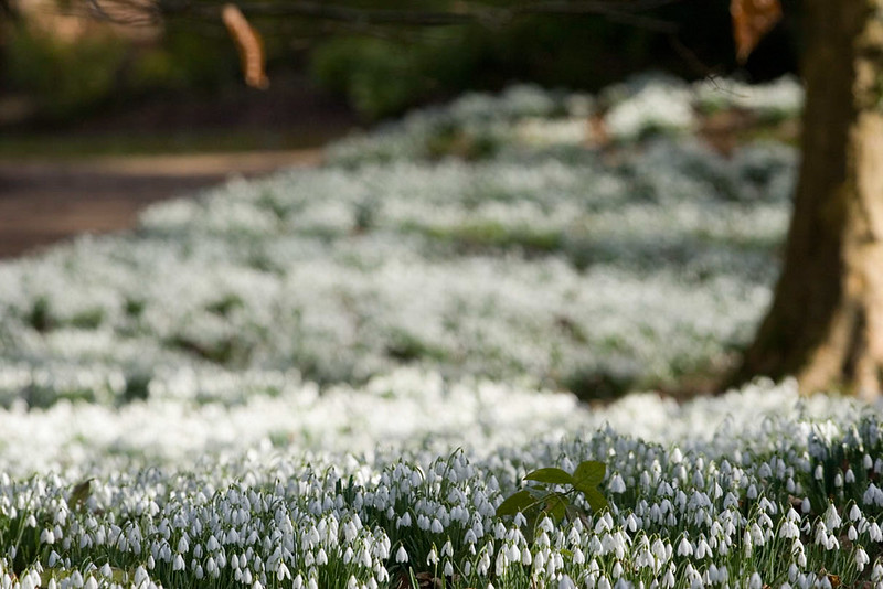 SNOWDROPS AT PAINSWICK ROCOCCO GARDEN