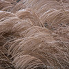 Miscanthus waves #3