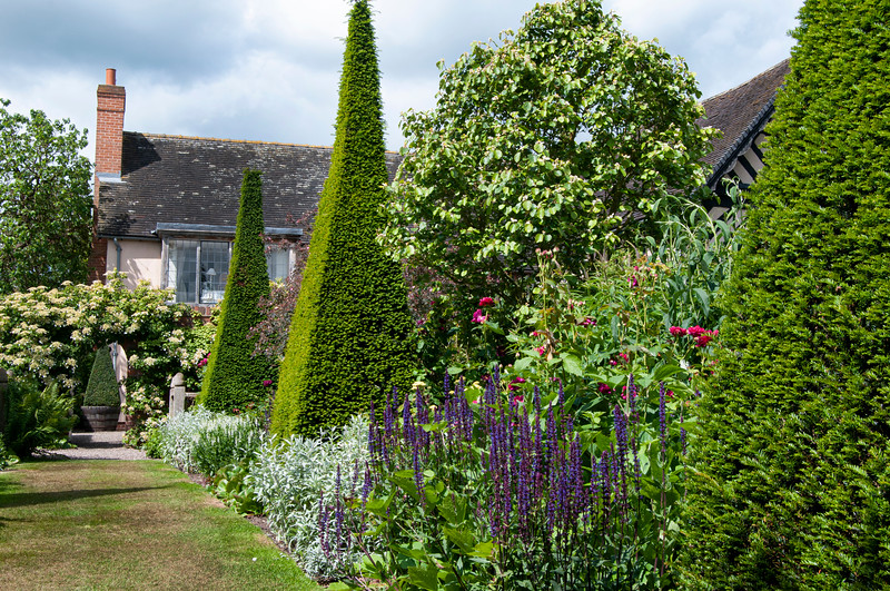 pyramid yew hedges amongst perennials in The Yew Walk at Wollerton Old Hall Garden, Shropshire, June,