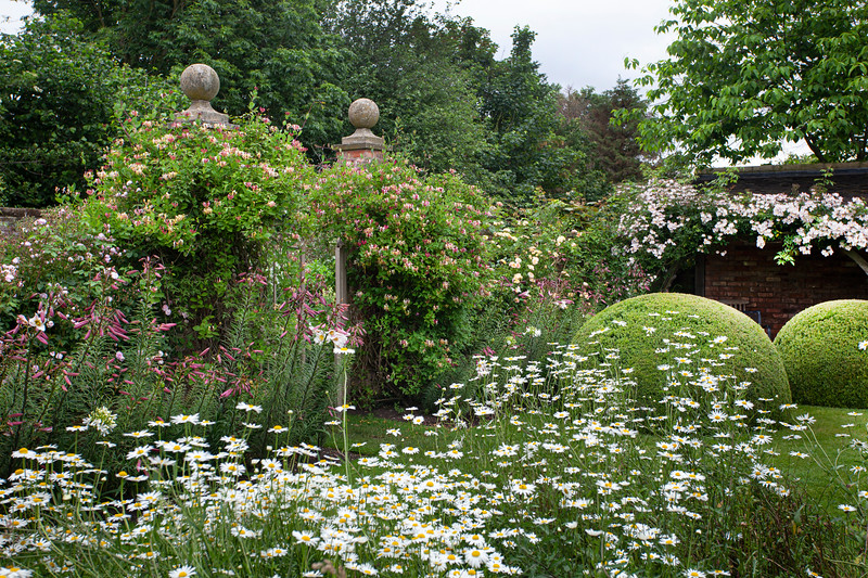Topiary mounds and leucanthemum in The Font Garden at Wollerton Old Hall Garden, June