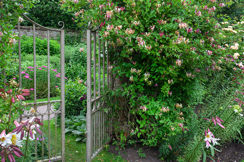wrought iron decorative gates amidst honeysuckle at Wollerton Old Hall Garden, June