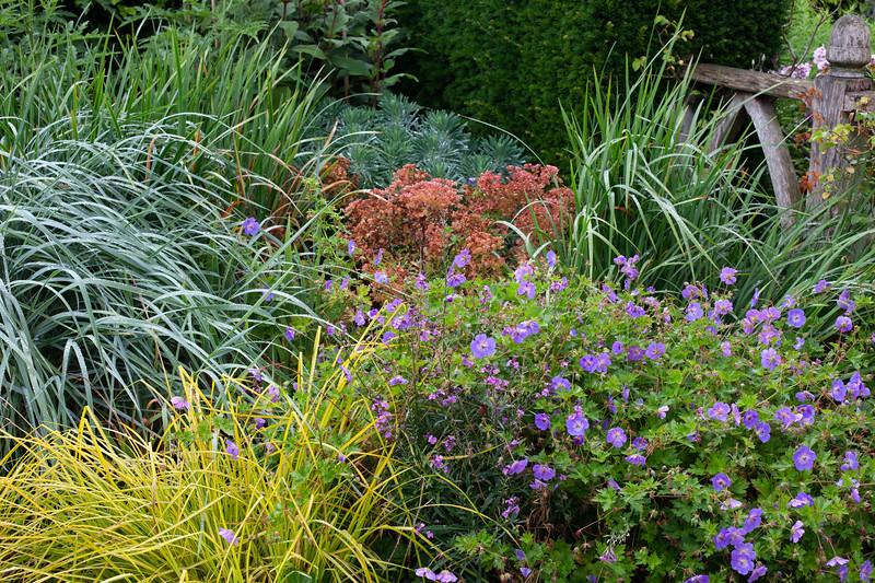 mixed grasses and geranium in Alice's Garden at Wollerton Old Hall Garden, July